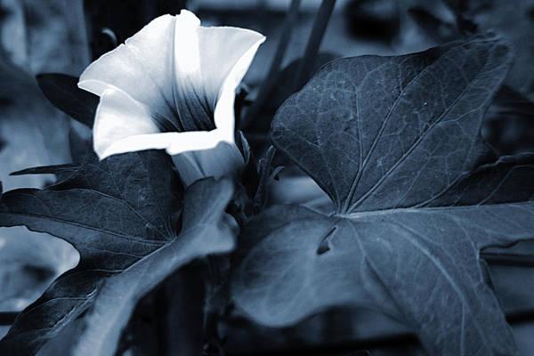 Photograph - Sweet Potato Blossom by Jeremy McKay