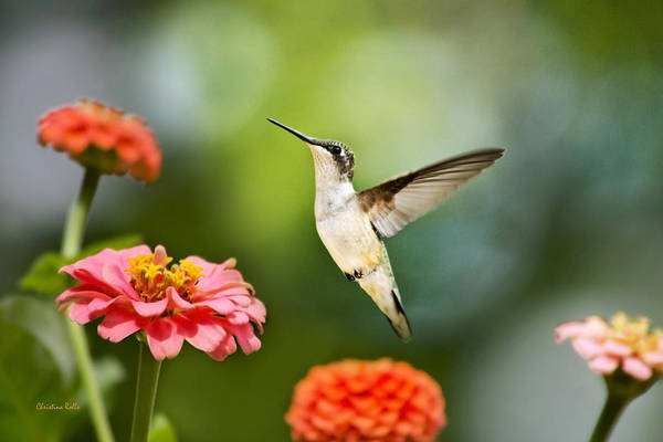 Beautiful Hummingbird Photograph - Sweet Promise Hummingbird by Christina Rollo