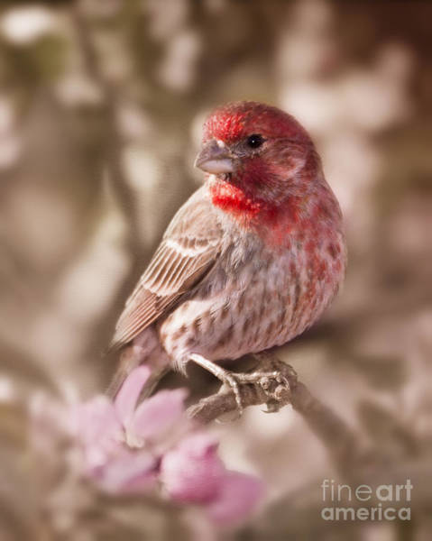 House Finch Photograph - Sweet Songbird by Betty LaRue