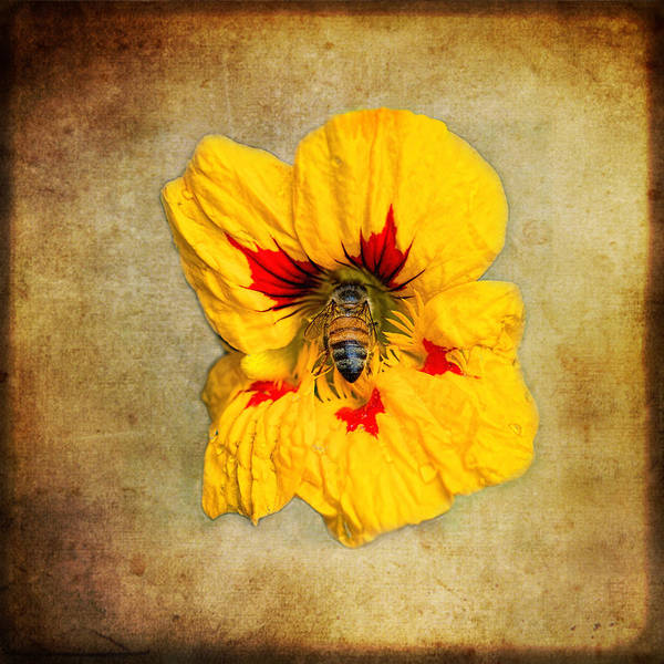 Honeybees Wall Art - Photograph - Sweet Spot by Susan Capuano