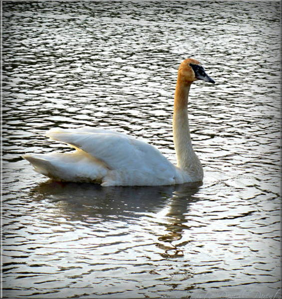 Photograph - Sweet Swan Swimming 2 by Danielle  Parent