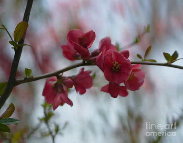 Quince Photograph - Sweet Temptation by Irina Wardas