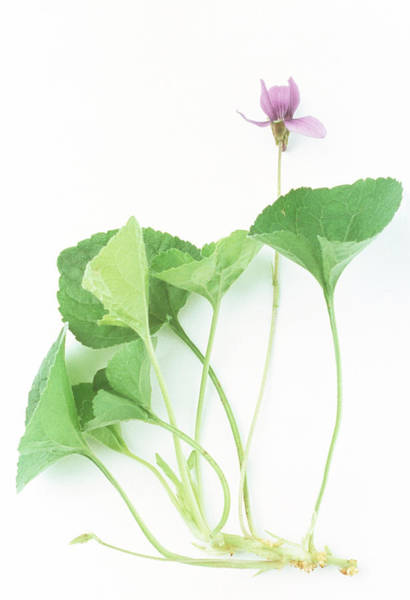 Softening Photograph - Sweet Violet by Th Foto-werbung/science Photo Library