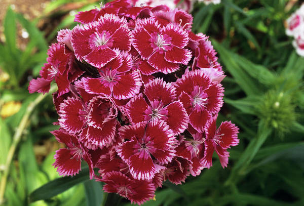 Wall Art - Photograph - Sweet William (dianthus Barbatus) by Sally Mccrae Kuyper/science Photo Library