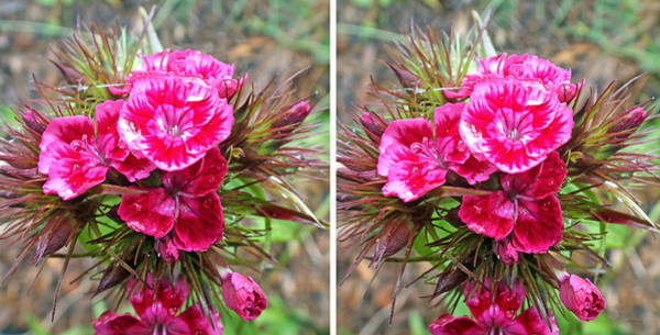 Photograph - Sweet William Flowers In 3d Stereo by Duane McCullough