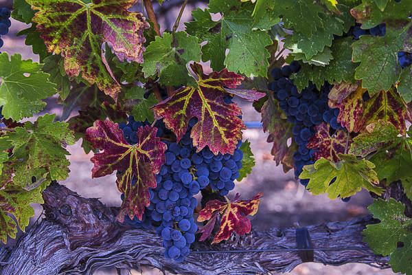 Wall Art - Photograph - Sweet Wine Grapes by Garry Gay