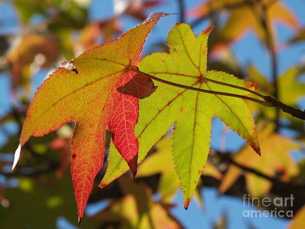 Acer Saccharum Photograph - Sweetgum Leaf Pair In Fall Finery by Anna Lisa Yoder