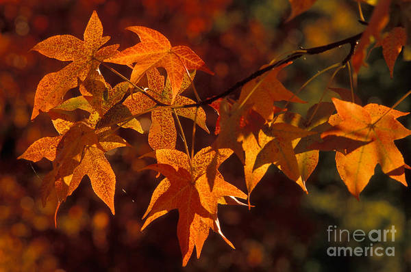 Photograph - Sweetgum Leaves In Fall by Ron Sanford
