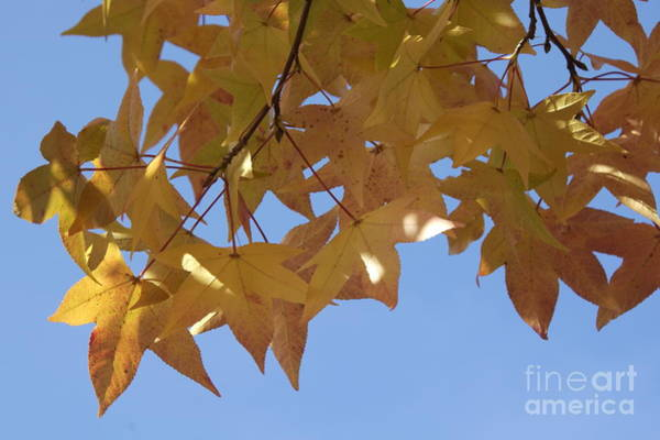Wall Art - Photograph - Sweetgum Leaves In Virginia In Autumn by Anna Lisa Yoder