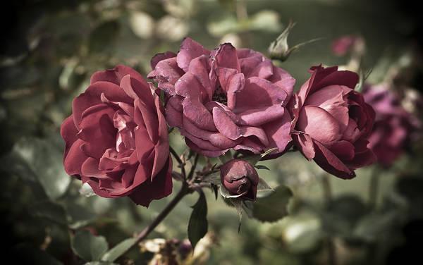 Photograph - Sweetly Pink by Christi Kraft