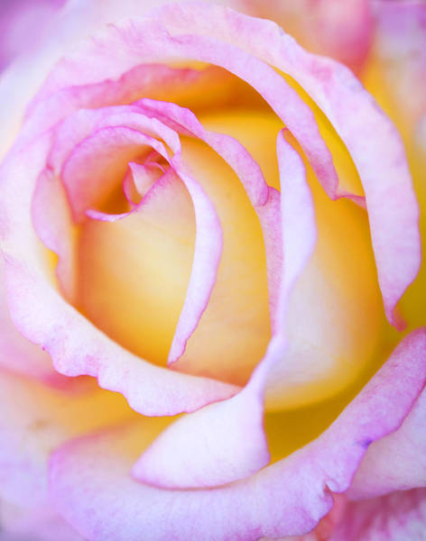 Photograph - Sweetness In Pink Rose by Marilyn Hunt
