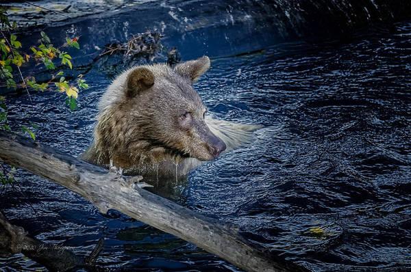 Photograph - Black Bear On Blue by Jim Thompson