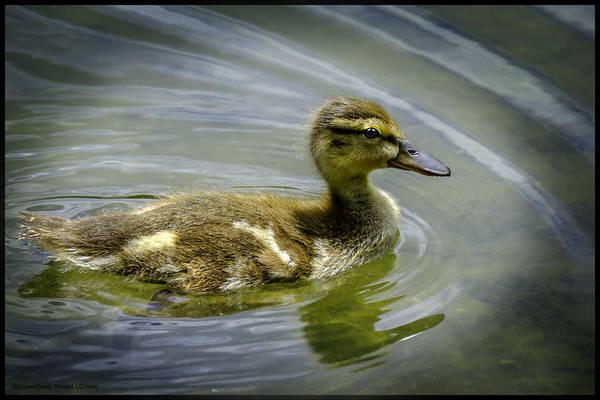 Duck Meat Photograph - Swimmin Ducky by LeeAnn McLaneGoetz McLaneGoetzStudioLLCcom
