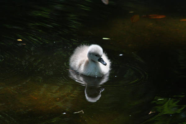 Photograph - Swimming Cygnet by Jean Clark