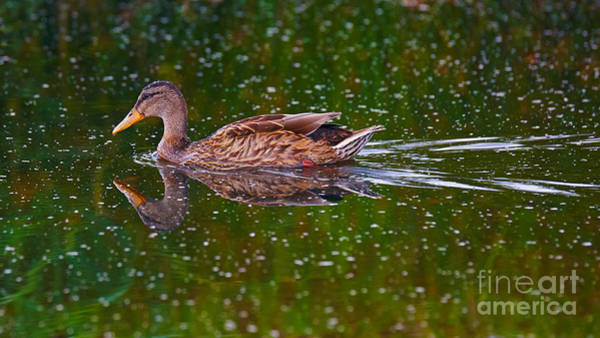 Photograph - Swimming Duck by Nick  Biemans