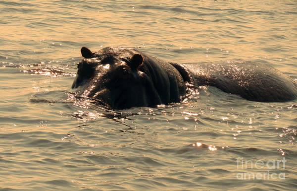 Photograph - Swimming Hippo by Carolyn Jarvis