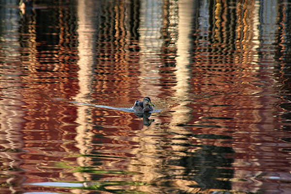 Photograph - Swimming Over Reflections by Goyo Ambrosio