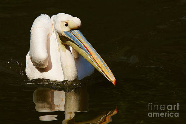 Photograph - Swimming Pink Pelican by Nick  Biemans
