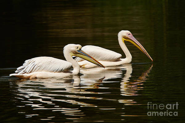Photograph - Swimming Pink Pelicans by Nick  Biemans