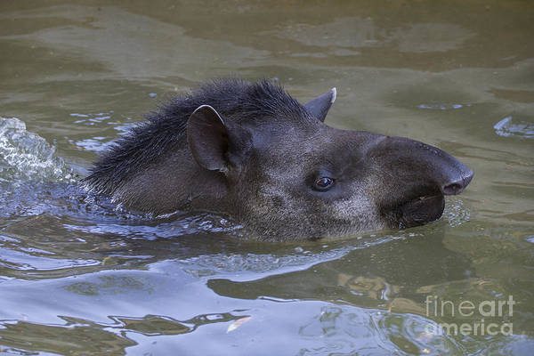 Photograph - Swimming Tapir by Clare Bambers