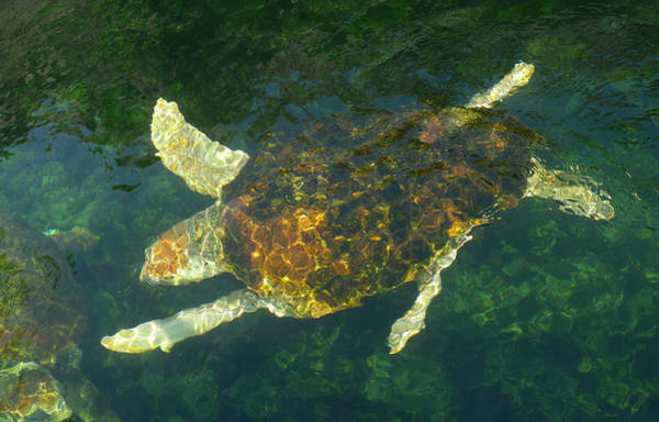Swimming Turtle Art Print