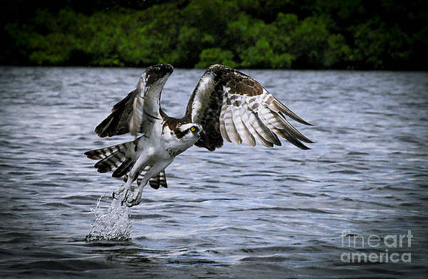 Ospreys Photograph - Swing And A Miss by Quinn Sedam