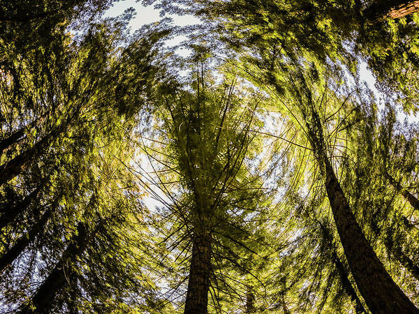 Fish Eye Lens Photograph - Swirling Trees Caused By A Fish Eye by Ron Koeberer
