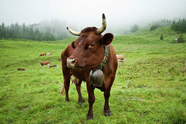 Cow Photograph - Swiss Cow by Mb Photography