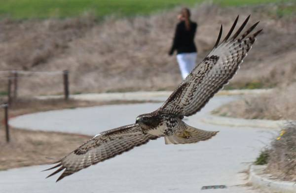 Photograph - Swoop by Christy Pooschke