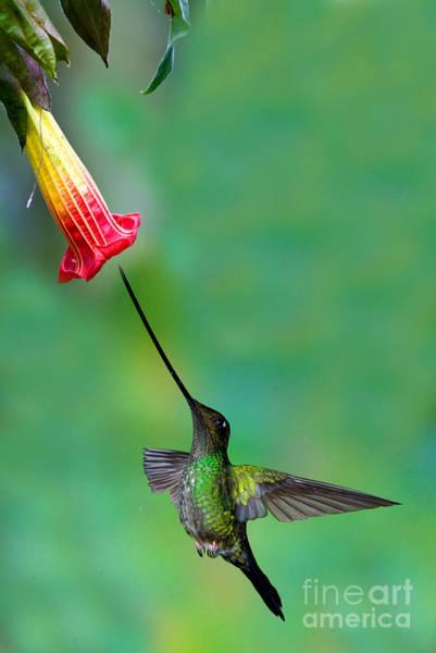 Photograph - Sword-billed Hummingbird by Anthony Mercieca
