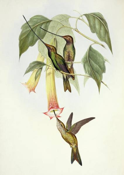 Wall Art - Photograph - Sword-billed Hummingbirds by Natural History Museum, London/science Photo Library