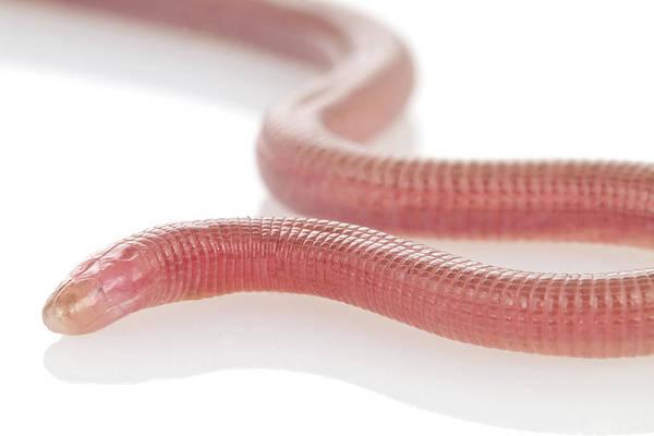 Photograph - Swynnertons Worm Lizard Gorongosa by Piotr Naskrecki