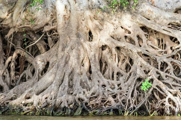 Botswana Photograph - Sycamore Fig Tree Roots Binding The Soil by Peter Chadwick