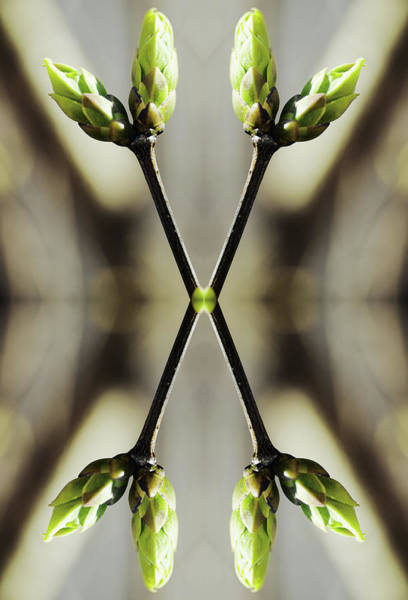 Vertical Abstract Photograph - Symmetrical Buds Of Syringa Tree by Silvia Otte