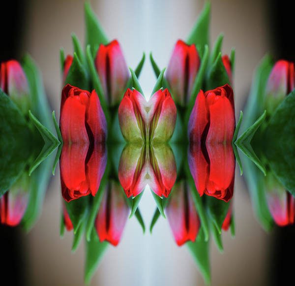 Ornate Photograph - Symmetrical Composite Of Red Tulips by Silvia Otte