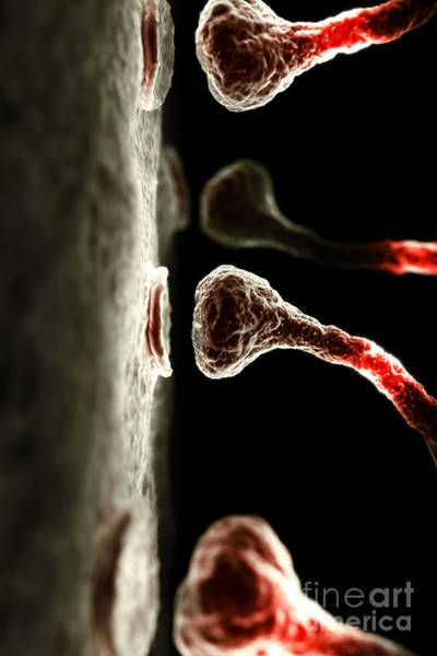Photograph - Synapses by Science Picture Co