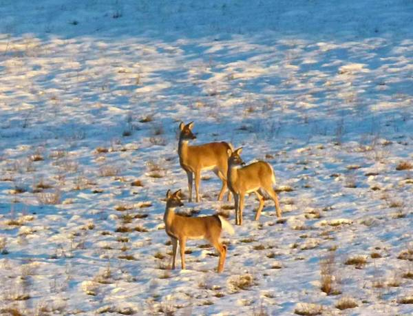 Okanagan Valley Digital Art - Synchronized Deer Painting by Will Borden