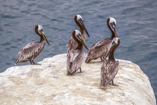 Digital Art - Synchronized Pelicans  by Photographic Art by Russel Ray Photos
