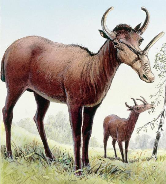 Ungulate Wall Art - Photograph - Syndyoceras by Michael Long/science Photo Library