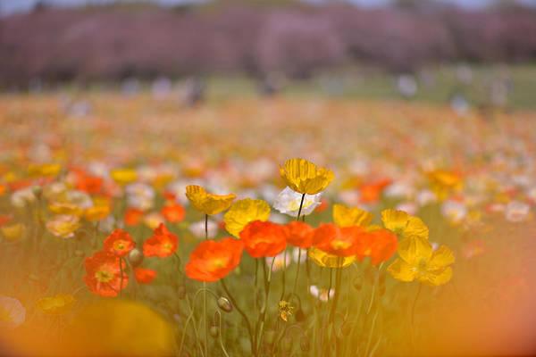 Freshness Photograph - Syowa-kinen Park 4  Iceland Poppy by Photo By Yoko Okamoto