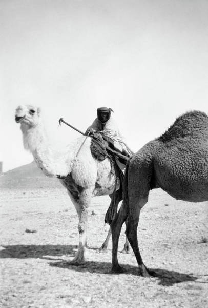 Wall Art - Photograph - Syria Camel, C1910 by Granger