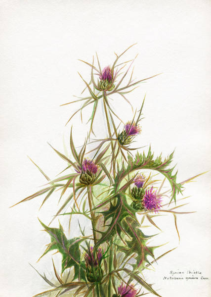 Photograph - Syrian Thistle C1950 by Granger