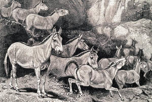 Wall Art - Photograph - Syrian Wild Asses by George Bernard/science Photo Library