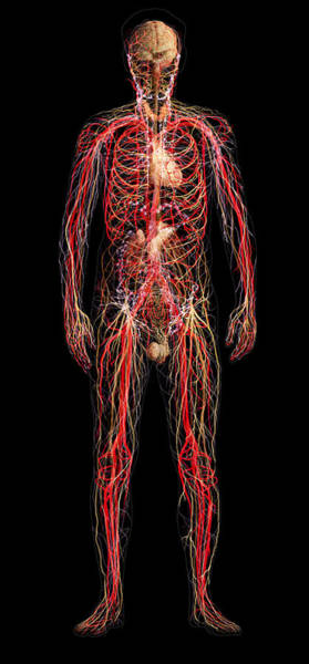 Wall Art - Photograph - Systems Of The Human Body, Male Figure by Anatomical Travelogue