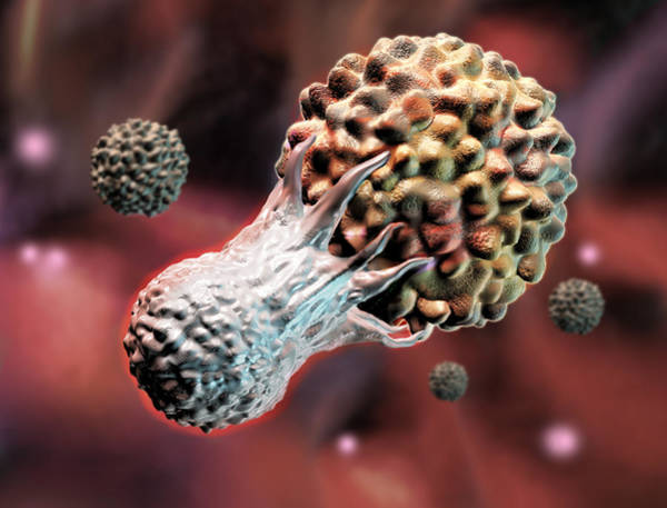Photograph - T-lymphocyte Attacking A Cancer Cell by Spencer Sutton