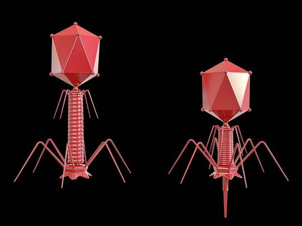 Genetic Material Photograph - T4 Bacteriophage by Maurizio De Angelis