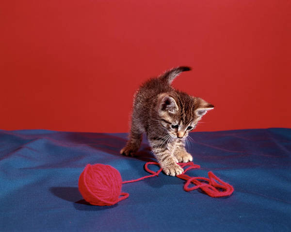 Kitten Play Wall Art - Photograph - Tabby Cat Kitten Playing With Red Yarn by Animal Images