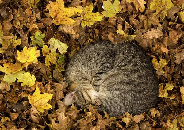 Wall Art - Photograph - Tabby Cat Sleeping by Bob Gibbons/science Photo Library