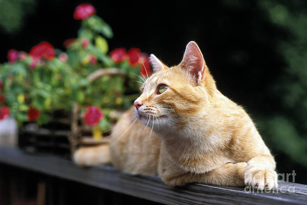 Orange Tabby Photograph - Tabby - Fs000476 by Daniel Dempster