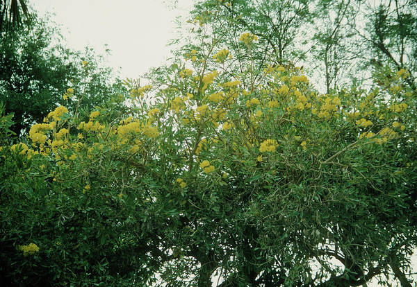 Yellow Trumpet Wall Art - Photograph - Tabebuia Serratifolia by A S Gould/science Photo Library